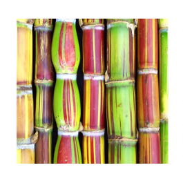 Festival de Canne (à sucre)